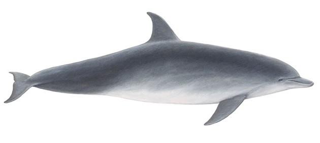 bottlenose_dolphin