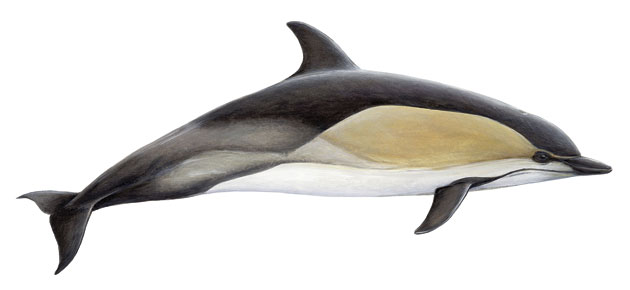 common_dolphin
