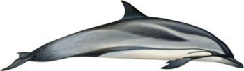 striped-dolphin-small